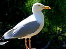 Seagull waiting. by Livvy Young