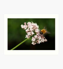 Honey bee on valerian flower Art Print