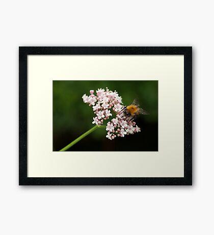 Honey bee on valerian flower Framed Print