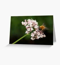 Honey bee on valerian flower Greeting Card