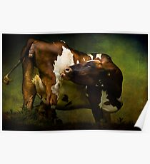 Cows Bum Poster
