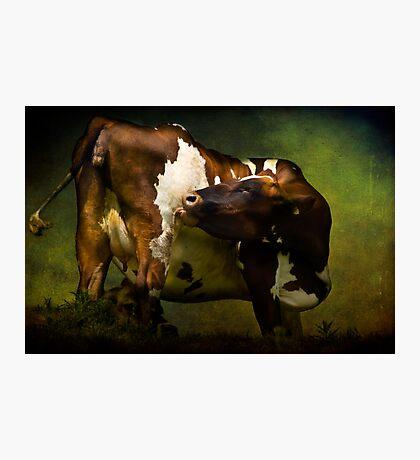 Cows Bum Photographic Print