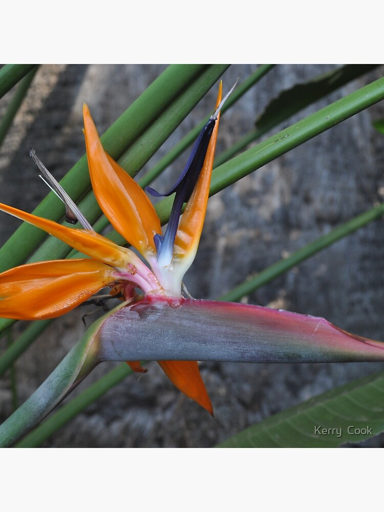 Bird of Paradise Flower von Kez22