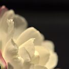 Pure Petals Over Darkness by MissyD