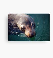 Fur Seal--Australian Canvas Print