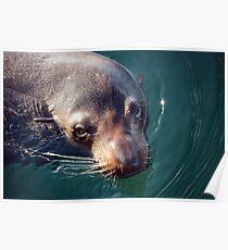 Fur Seal--Australian Poster