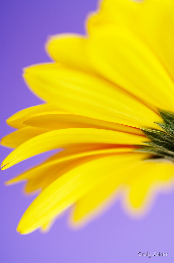 Yellow Gerbera Abstract by Craig Joiner