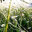 Daisy Field Too by bryanbellars