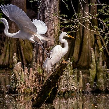 Great White Egrets of the Swamp by imagetj