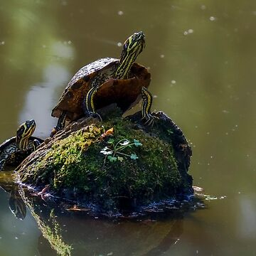 Turtles Playing Follow the Leader by imagetj