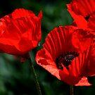 poppy 1 by dagmar luhring
