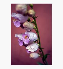 Palmer's Penstemon Photographic Print
