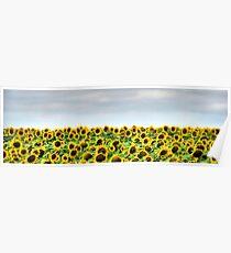 South Dakota Sunflowers Poster