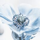 Anemone by Philippe Sainte-Laudy