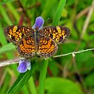 Pearl Crescent by Kasey Lilly