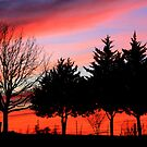 Cedars at Sunset by Linda Woods