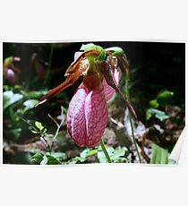 Pink Lady's Slipper Poster