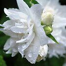 Little white flower by MandaP
