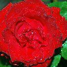 Rain drop Red rose by MandaP