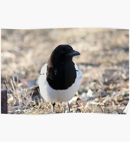 Black-Billed Magpie Poster