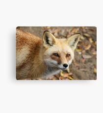 Sly as a Fox Canvas Print