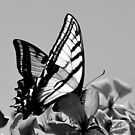 Swallowtail in Black and White by Stevej46