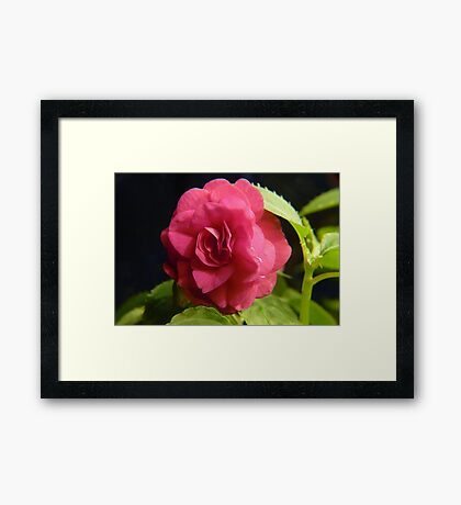 Double Pink Impatience Framed Print