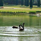 Swan In Black by Brian Bo Mei