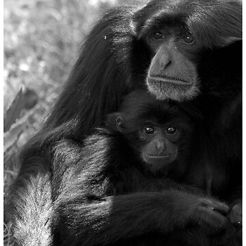 Siamang Gibbon & Baby  by DataStream
