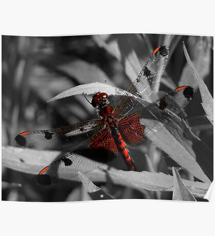 Gorgeous Red Dragonfly Poster