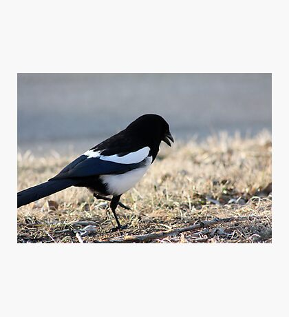 Dancing Magpie Photographic Print
