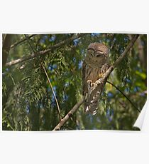 MALE BARRED OWL Poster