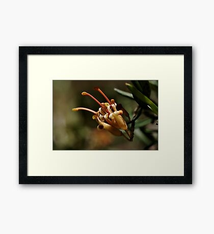 Grevilleas in bloom Framed Print