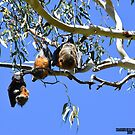 Resting flying foxes by Peter Krause