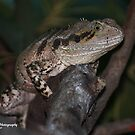 Water Dragon Lizard ( Xantusiidae family ) by Edyta Magdalena Pelc