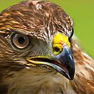 Common Buzzard by Geoff Carpenter