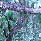 Walking Stick Upclose by elledeegee