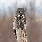 Stumped - Great grey owl by Jim Cumming