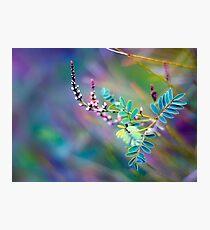 Angophora australis Photographic Print