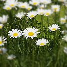 Daisy's by Robert Woods