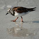 Ruddy Turnstone by Virginia N. Fred