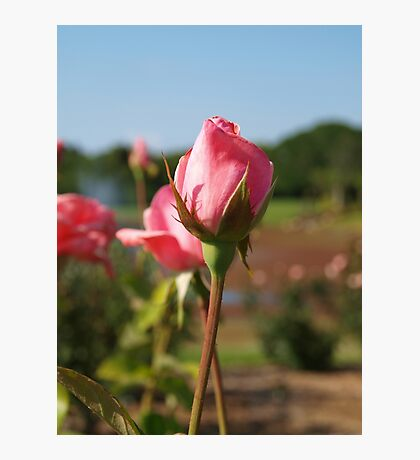Pink rosebuds within a garden Photographic Print
