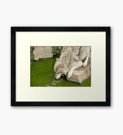 Thirsty Like  A Wolf  Framed Print