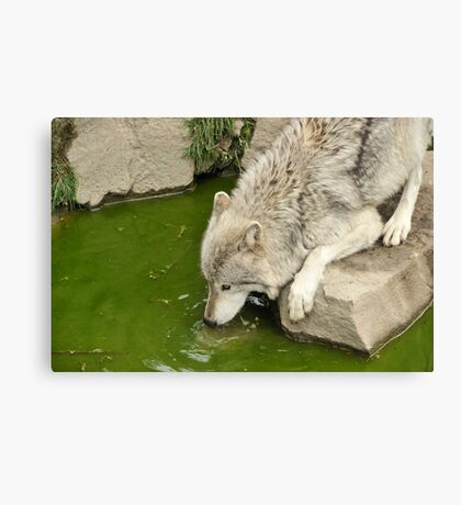 Thirsty Like  A Wolf  Canvas Print