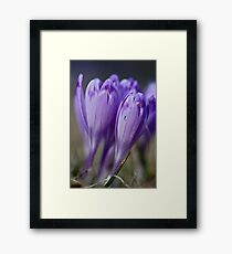 1093 . Crocus sativus . God bless you each and every day with much love and Joy and wonderful inside and out !! Framed Print