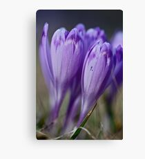 1093 . Crocus sativus . God bless you each and every day with much love and Joy and wonderful inside and out !! Canvas Print