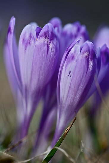 1093 . Crocus sativus . God bless you each and every day with much love and Joy and wonderful inside and out !! by © Andrzej Goszcz,M.D. Ph.D