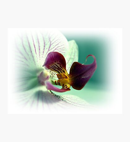 White And Pink Orchid (Phalaenopsis) Photographic Print