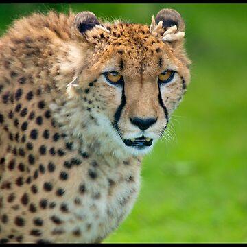 Cheetah by DataStream