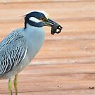 Yellow Crowned -Night Heron by Jeff Ore